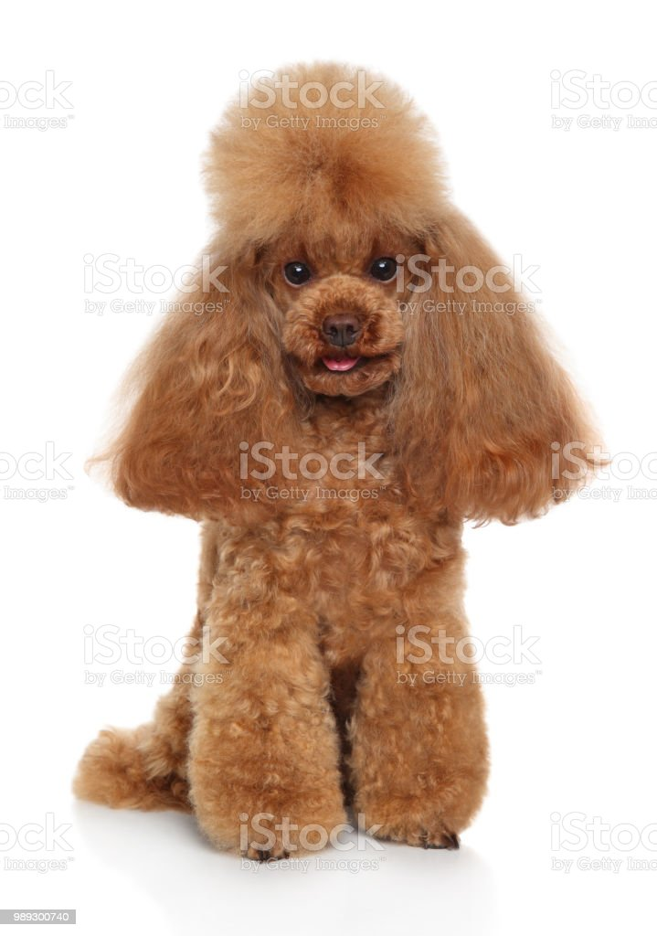 Red Toy Poodle Puppy On White Background Stock Photo Download Image Now Istock