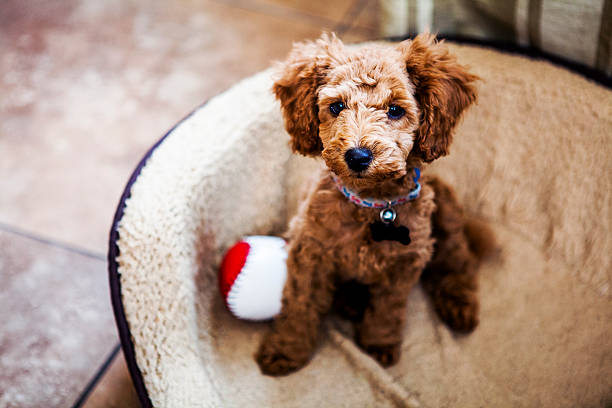 Red Toy Poodle Puppy Red Toy Poodle Puppy poodle stock pictures, royalty-free photos & images