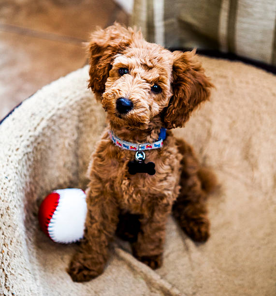 Red Toy Poodle Puppy stock photo