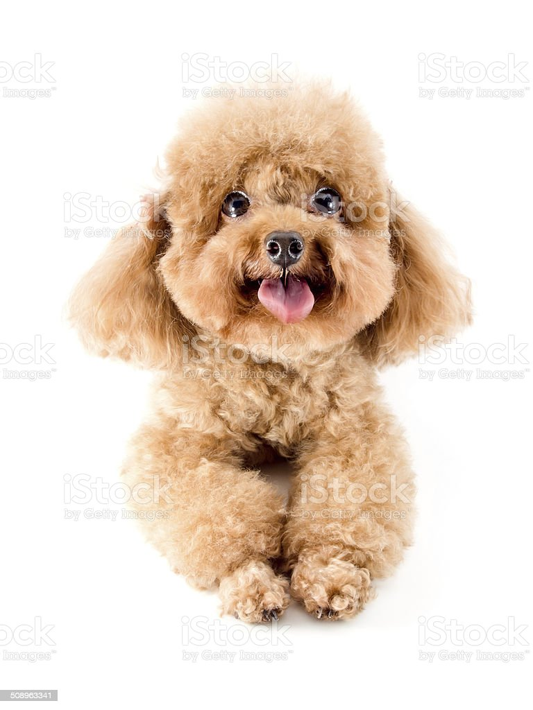 Red Toy Poodle Puppy Stock Photo Download Image Now Istock