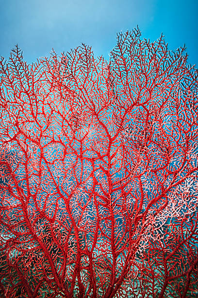 Red Tree Coral Sipadan Island coral reef, Malaysia coral cnidarian stock pictures, royalty-free photos & images