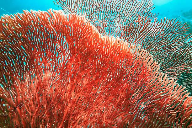 czerwony drzewo coral - parzydełkowce zdjęcia i obrazy z banku zdjęć