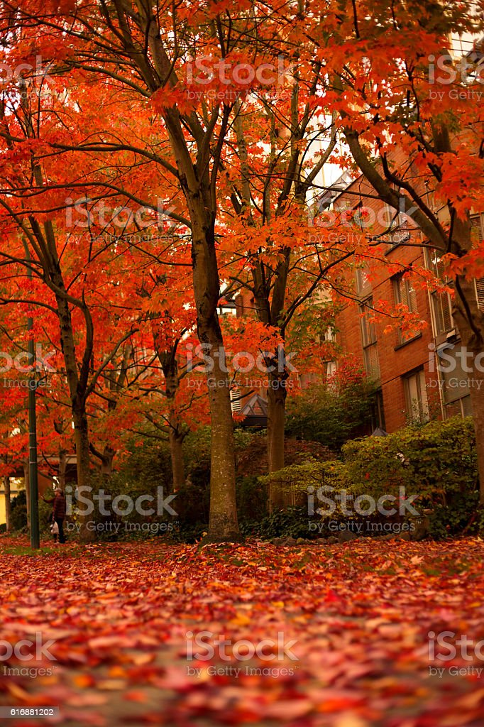 Red trees in fall stock photo
