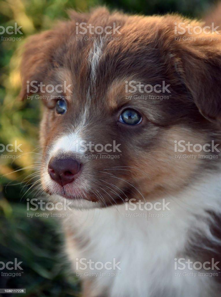 Red Tri Aussie Puppy Stock Photo Download Image Now Istock