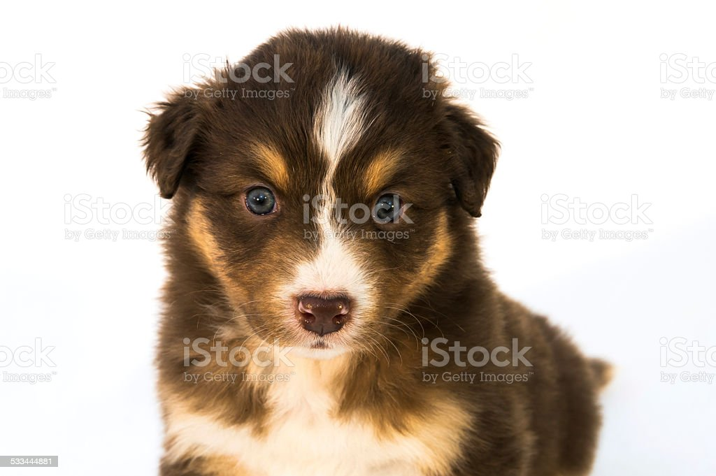 Red Tricolor Australian Shepherd Puppy Stock Photo Download Image Now Istock