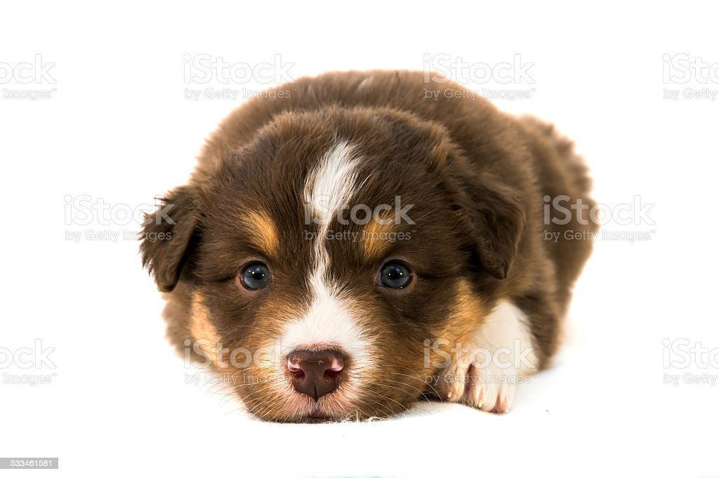 Red Tricolor Australian Shepherd