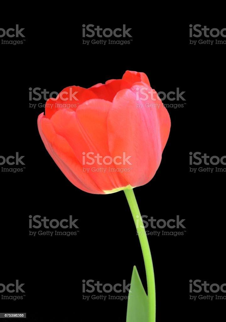 Red Tulip Against Black photo libre de droits
