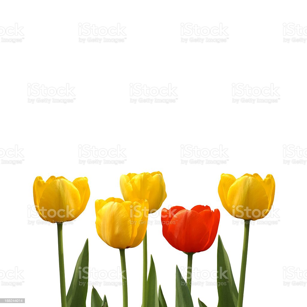 red tulip among yellow tulips on a white background royalty-free stock photo