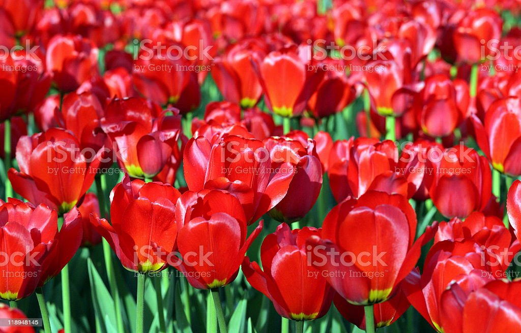 red tulip at spring on Earth royalty-free stock photo