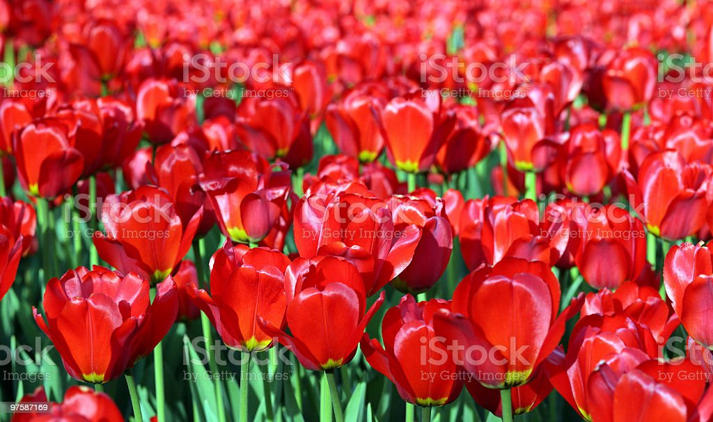 red tulip at spring royaltyfri bildbanksbilder