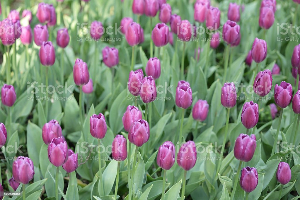 red tulip at spring royalty-free stock photo