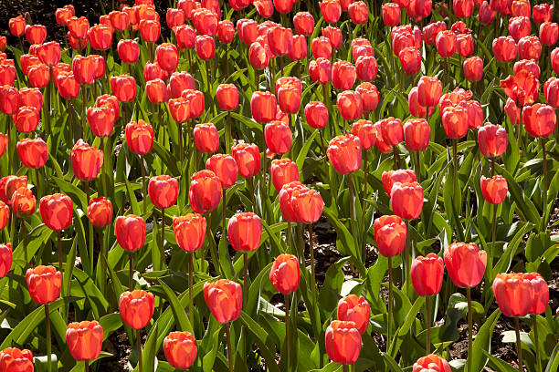 red tulip background stock photo