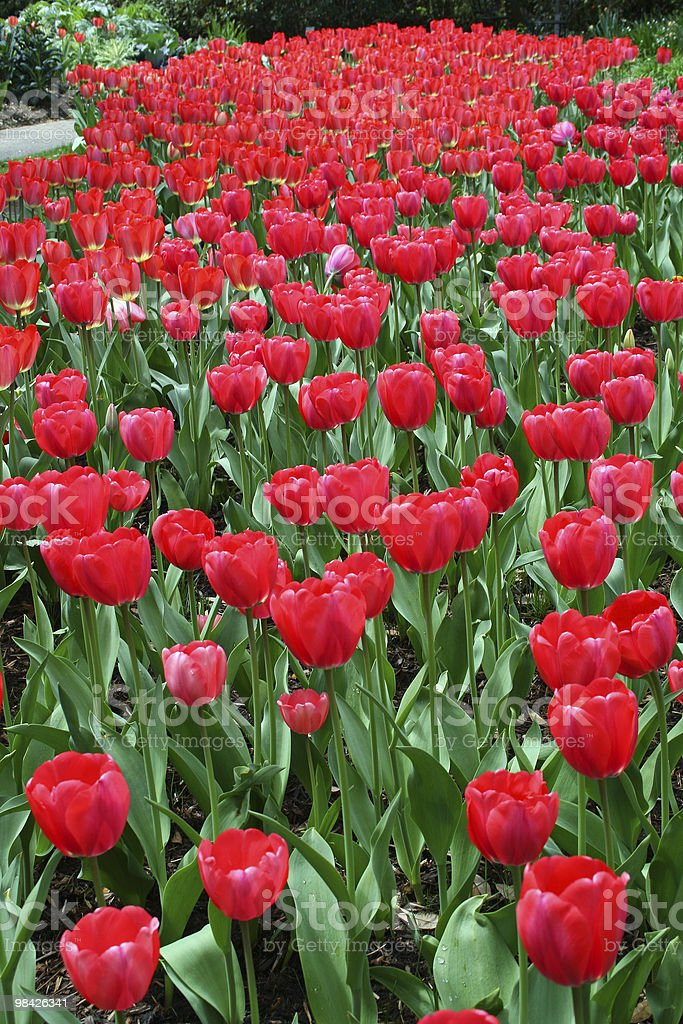 Red Tulip Background royalty-free stock photo