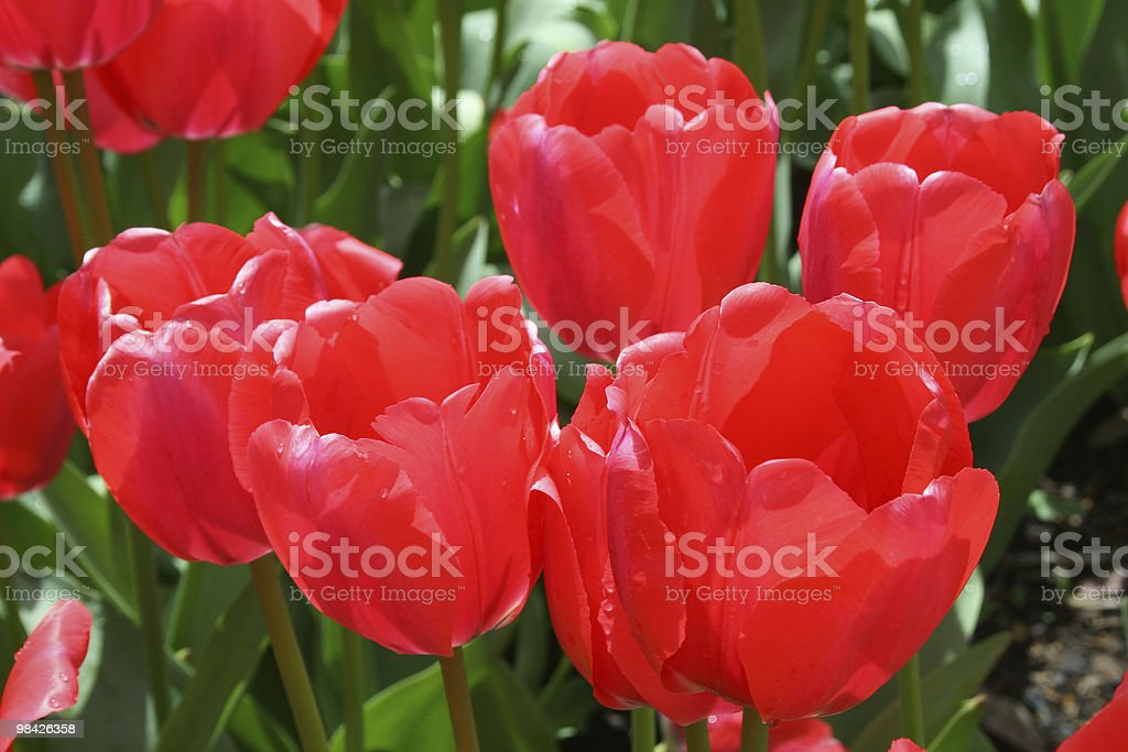 Red Tulip Bunch royalty-free stock photo