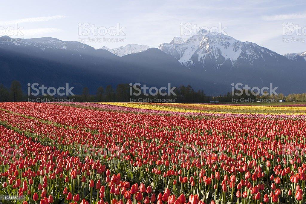 Red Tulip Field at Sunrise stock photo