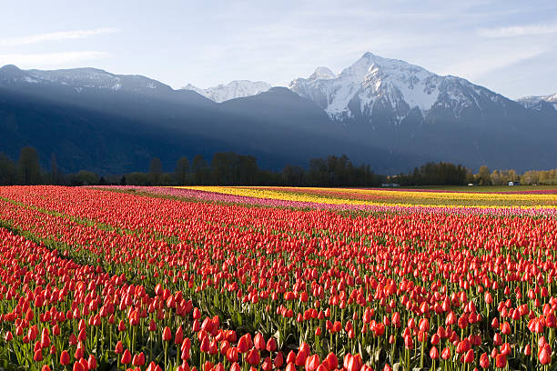 red tulip field at sunrise - spring stock photos and pictures