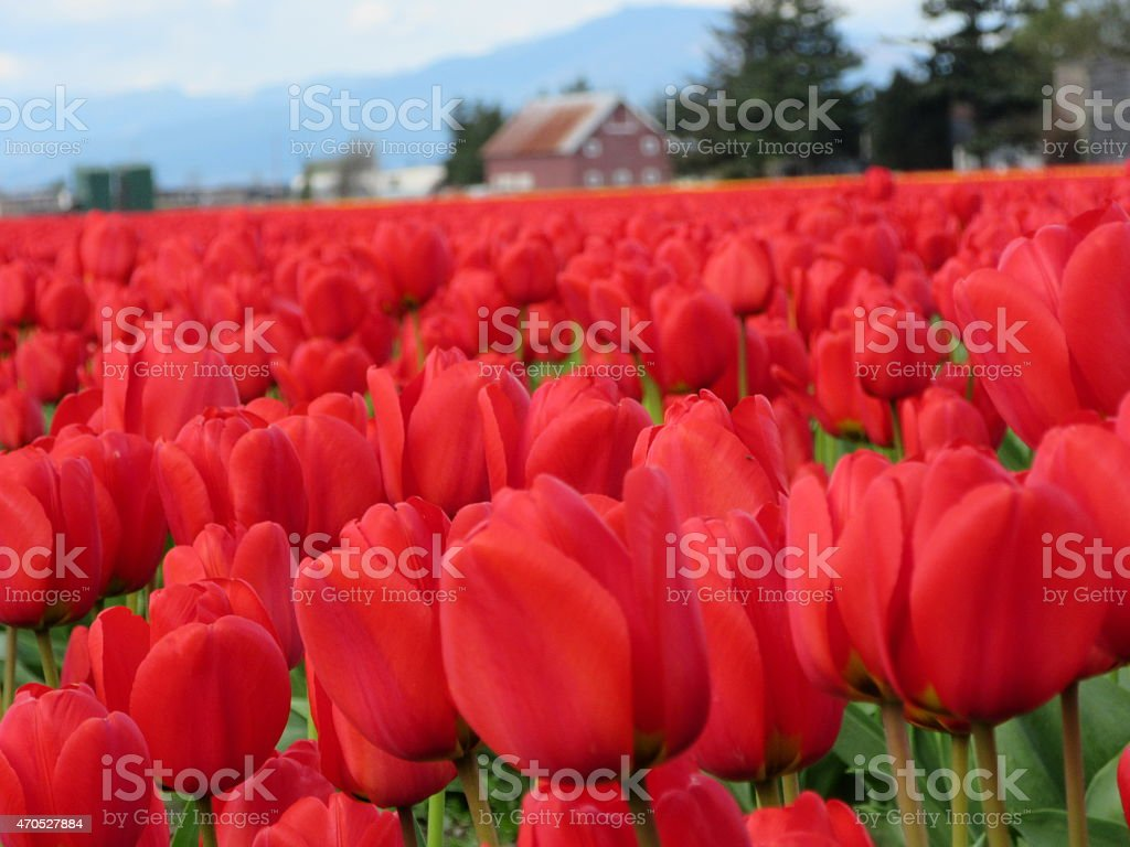 Red Tulip Field Diminishing to Farmhouse Background stock photo