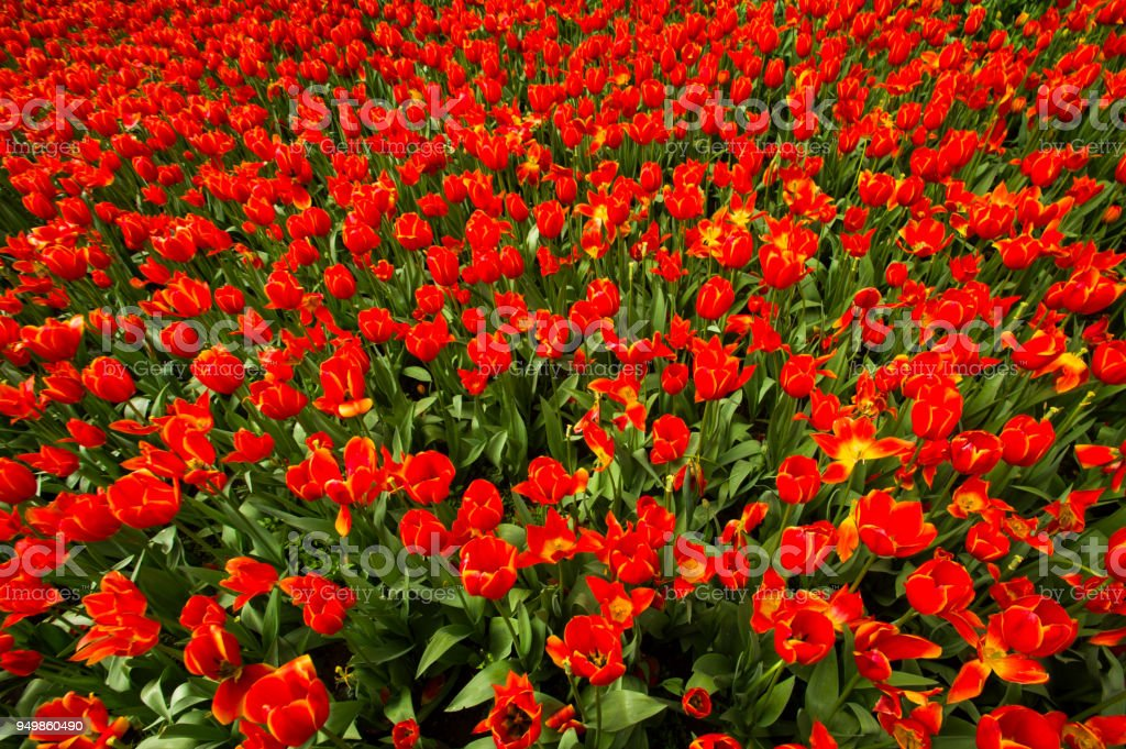red tulip flower mass display stock photo