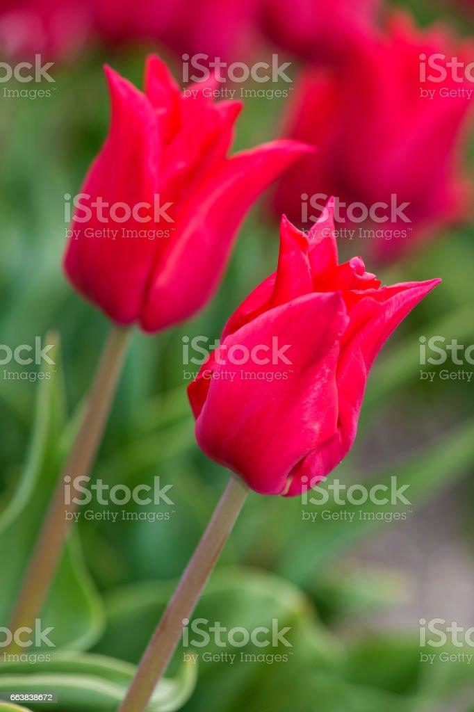 Red tulip flower – Foto