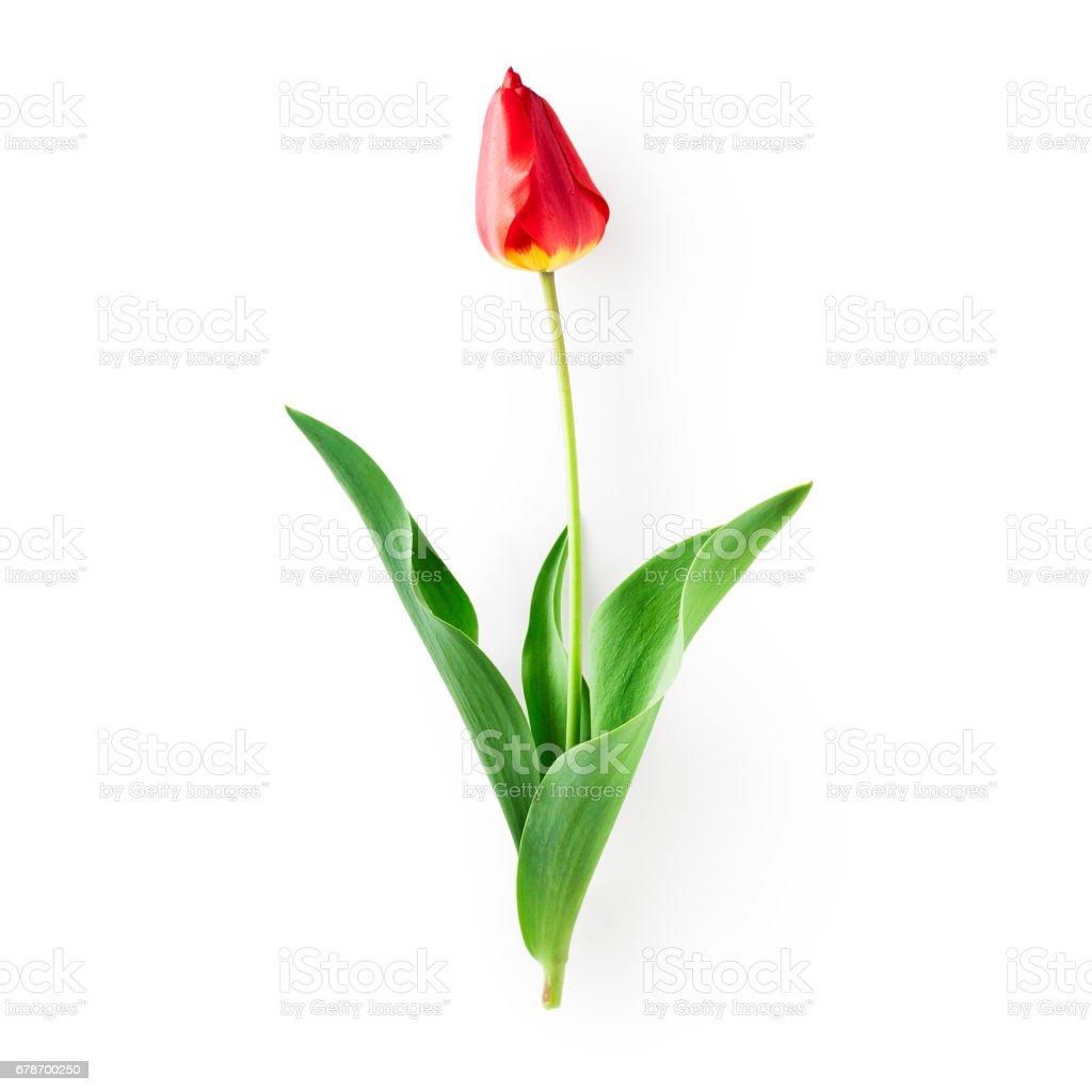 Fleur de Tulipe rouge photo libre de droits