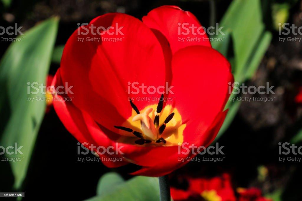 紅色鬱金香花 - 免版稅前後院圖庫照片