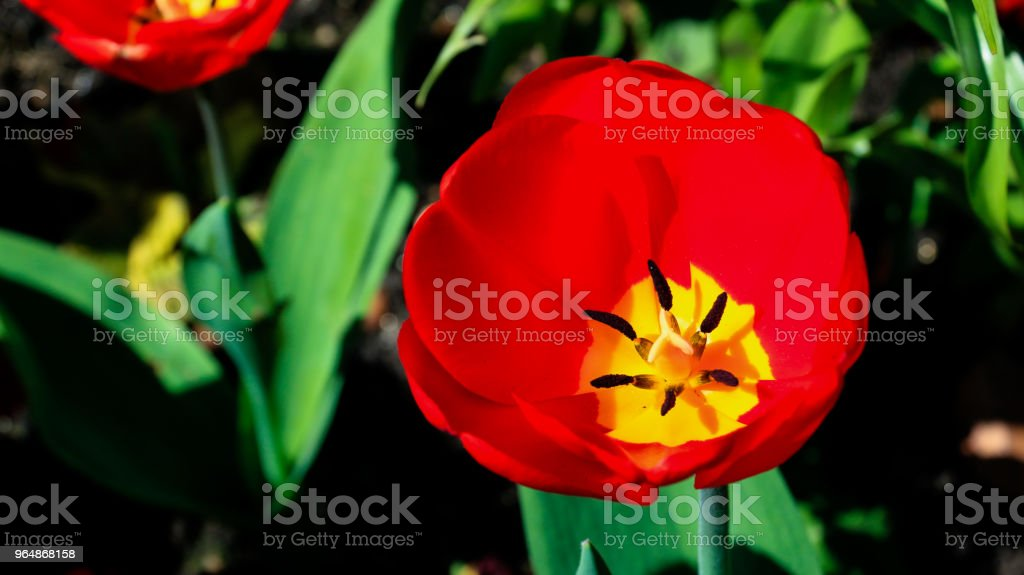 Red Tulip flower royalty-free stock photo