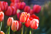 Red Tulip flowers blooming in garden. One Tulip is in sharp focus. All the other tulips in the garden are out of focus. The ones in a distance are showing a nice blur. The Tulips are illuminated by direct sunlight and their red-orance colour is glowing in the light.