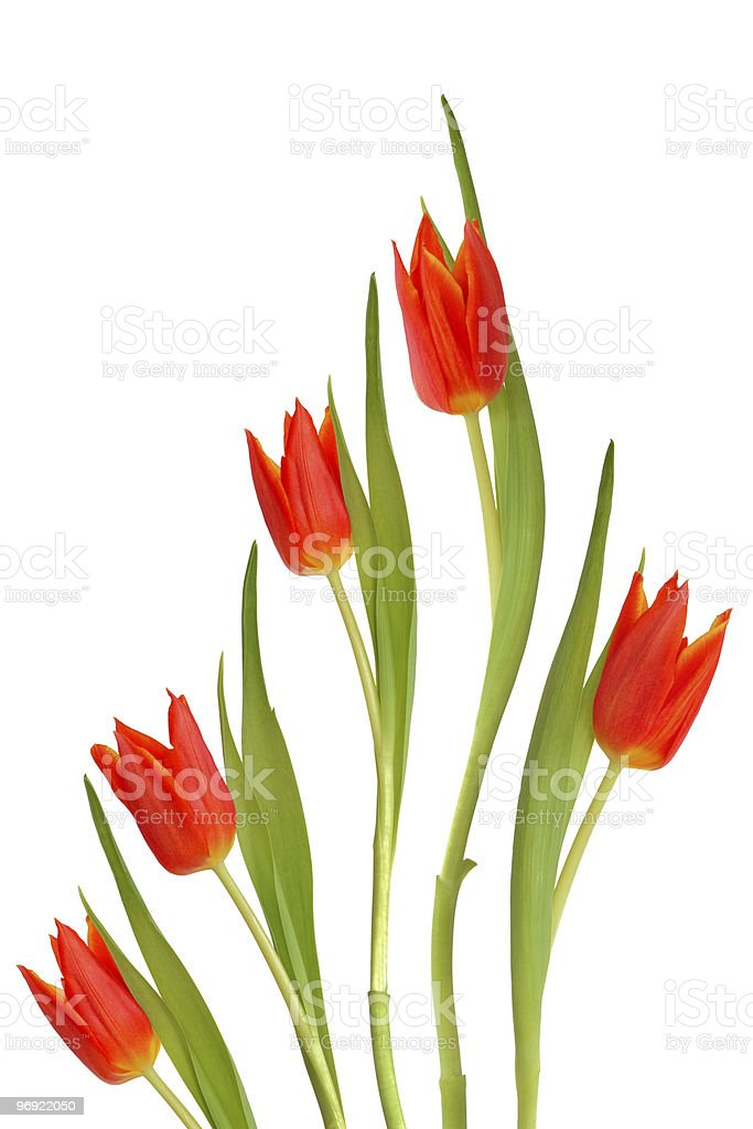Red Tulip Flowers royalty-free stock photo