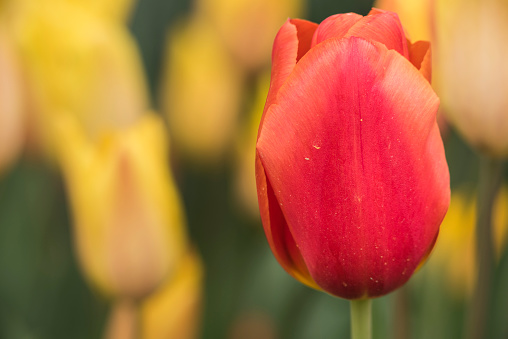 Macro closeup of red tulip in a field of yellow ones