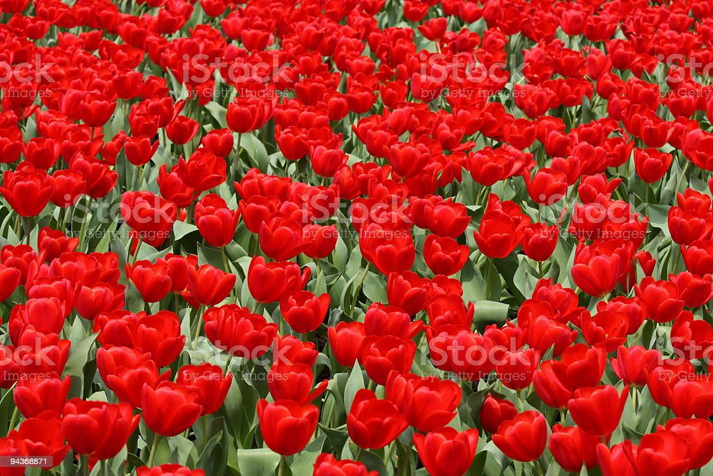 Red tulip in a field stock photo