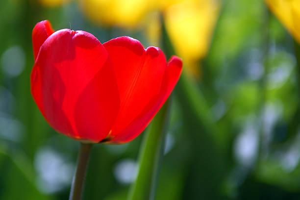 Red tulip in blossom stock photo