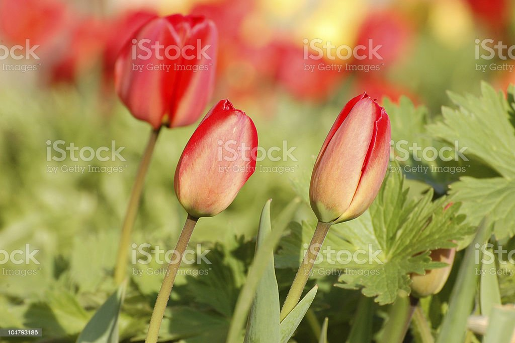 Red tulip in blossom stock photo