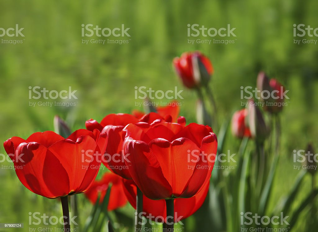 Red tulip in green royalty-free stock photo