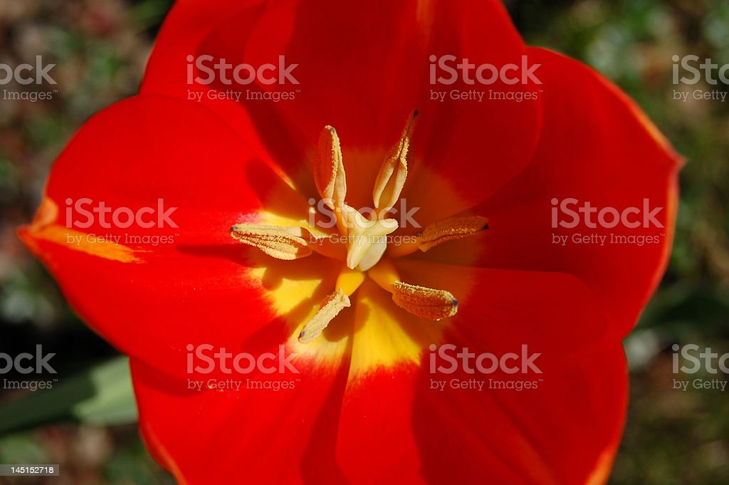 Red tulip in Spring royalty-free stock photo