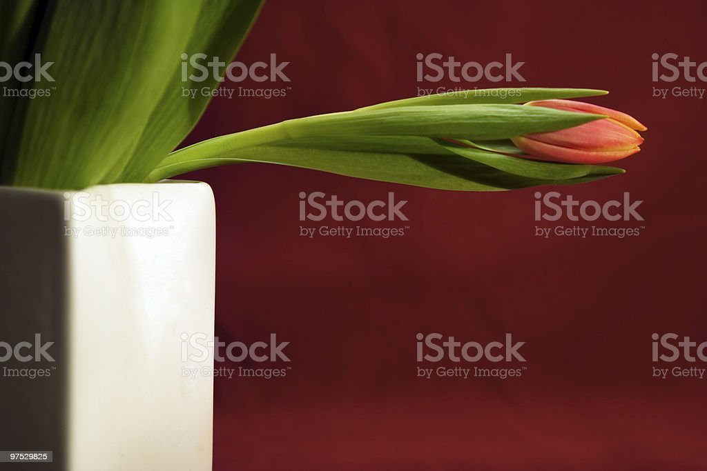 red Tulip in white vase royalty-free stock photo