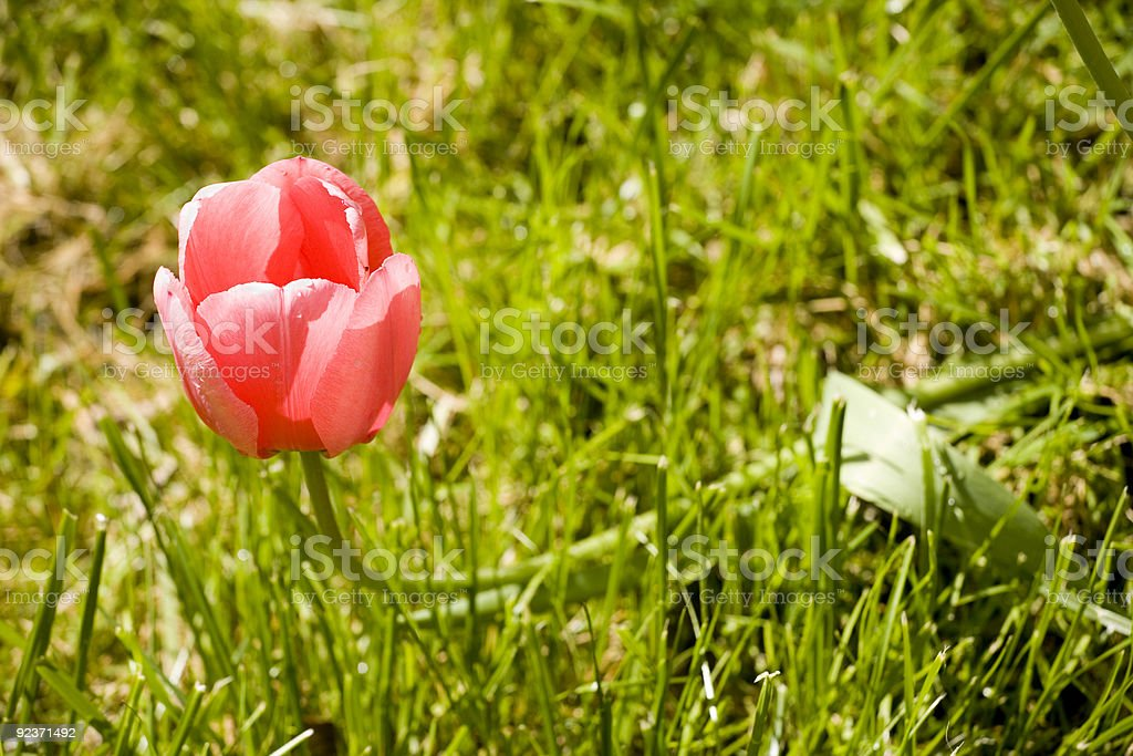 Red Tulip on Green Grass royalty-free stock photo