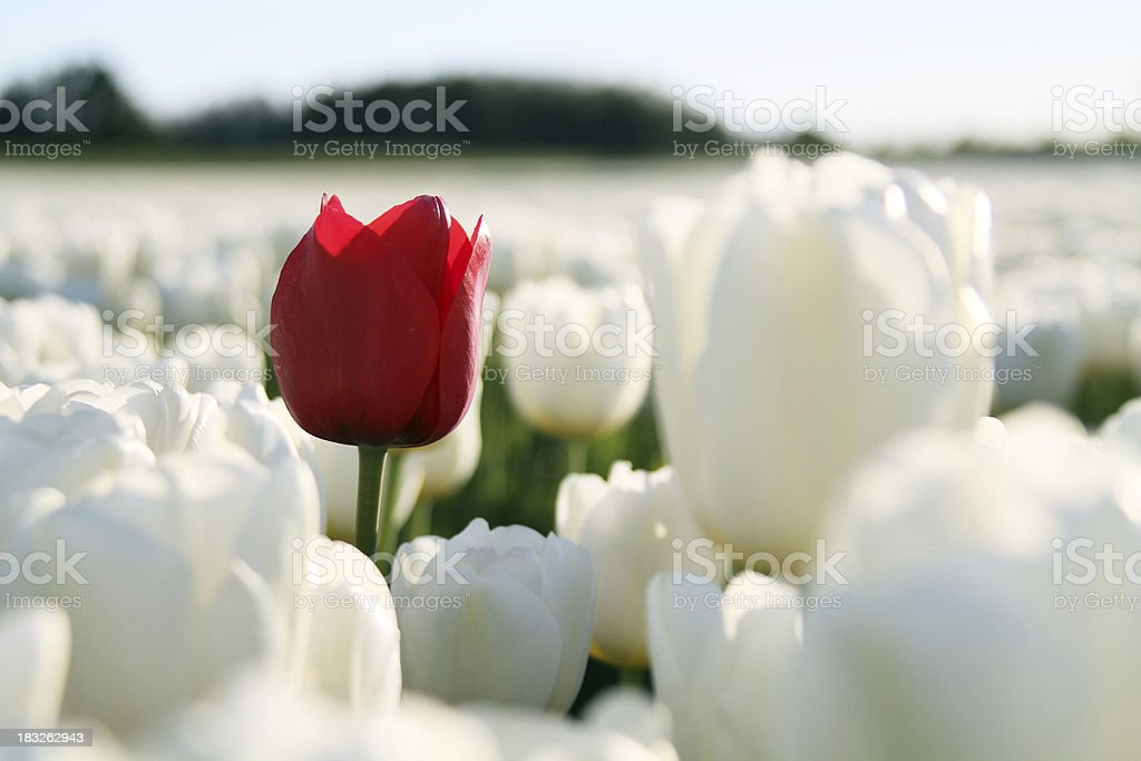 red tulip on white stock photo