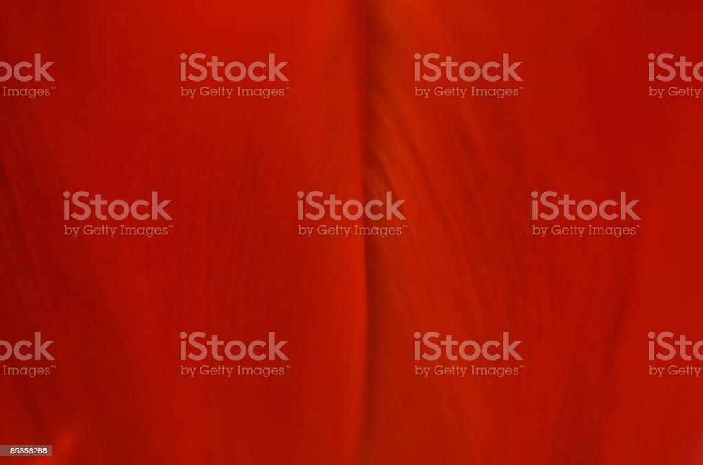 Tulipano rosso foto stock royalty-free