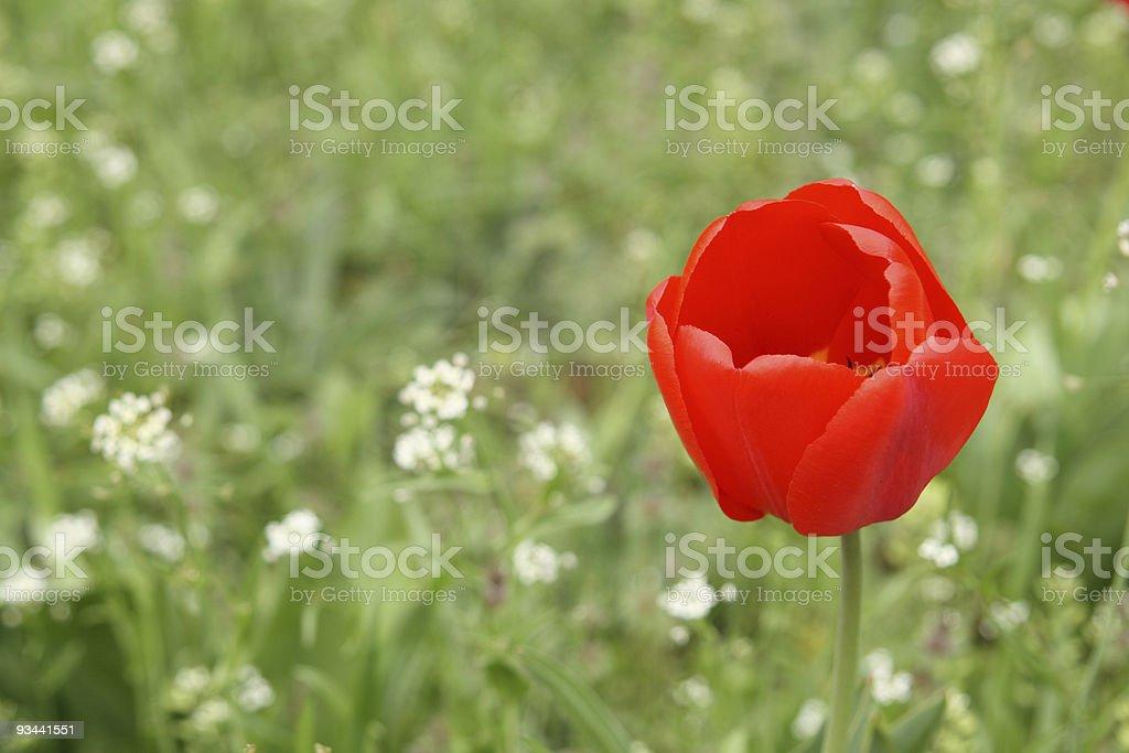 Rote Tulpe Lizenzfreies stock-foto