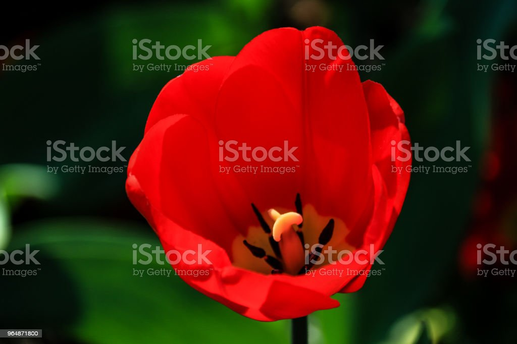 Red Tulip Stock Photo & More Pictures of Blossom