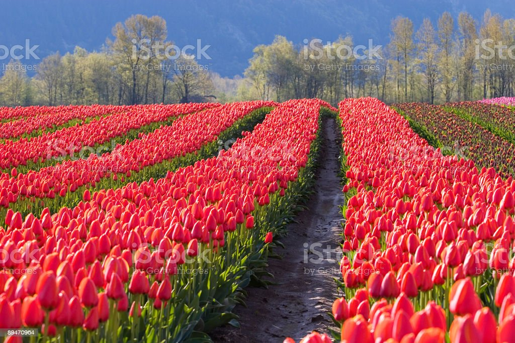 Red Tulip Rows royalty-free stock photo