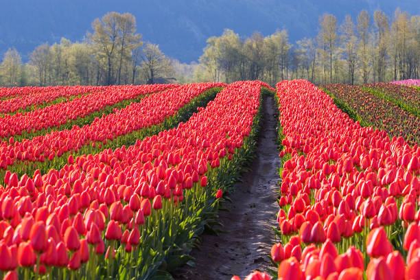 red tulip rows - spring stock photos and pictures