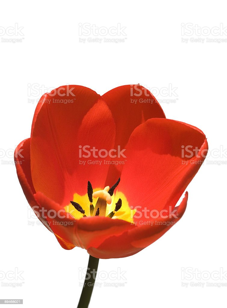 Red tulip white background royalty-free stock photo
