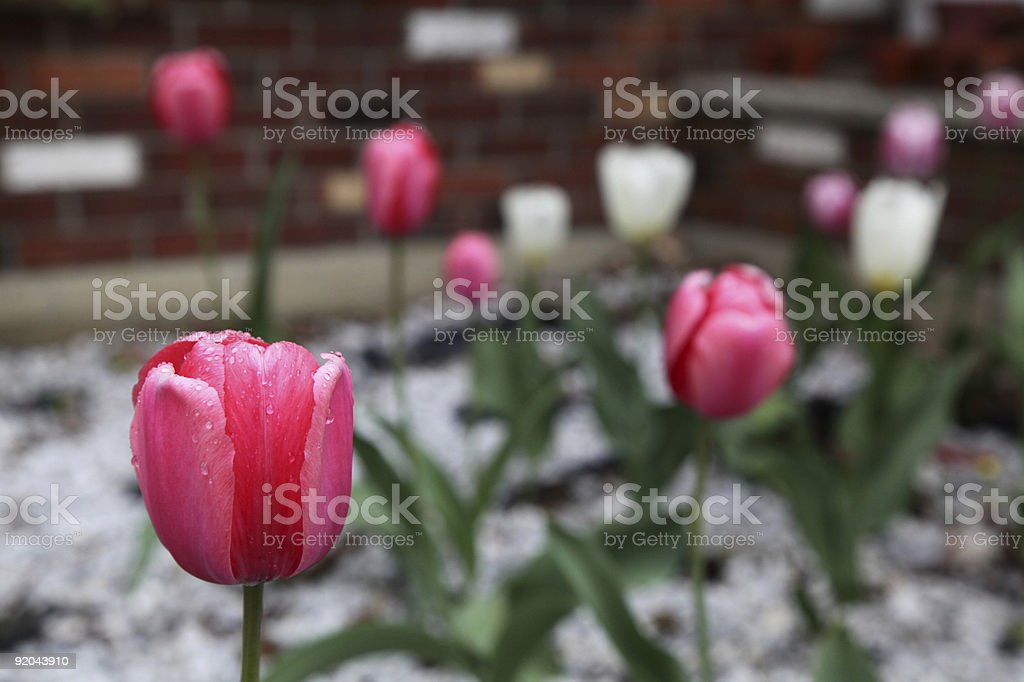 Red Tulip With Rain Drops On It stock photo