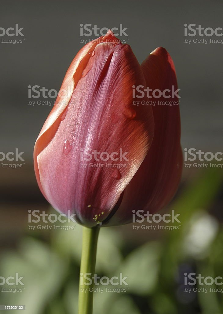 Red Tulip With Water Droplets stock photo
