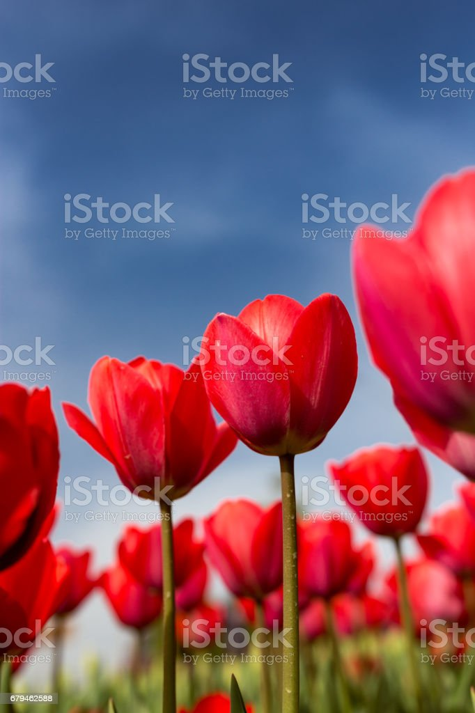 Red tulips against the blue sky in the nature royalty-free stock photo