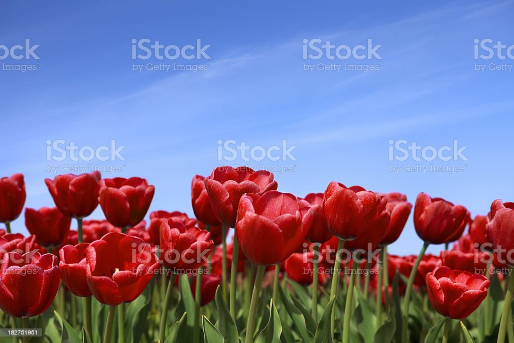 Red tulips and a clear blue sky, low angle royalty-free stock photo