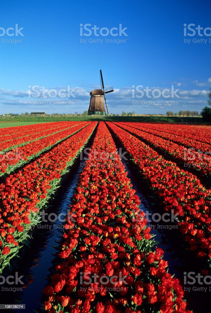 Red Tulips and Windmill royalty-free stock photo