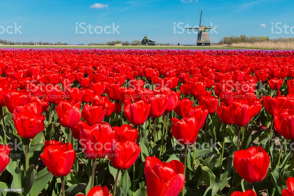 Red Tulips and Windmill stock photo