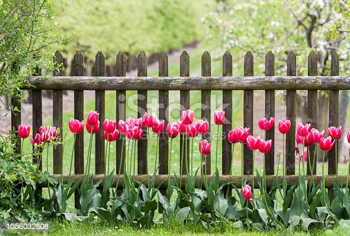 Red tulips at garden fence